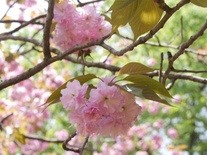 つくし野アスレチックの桜