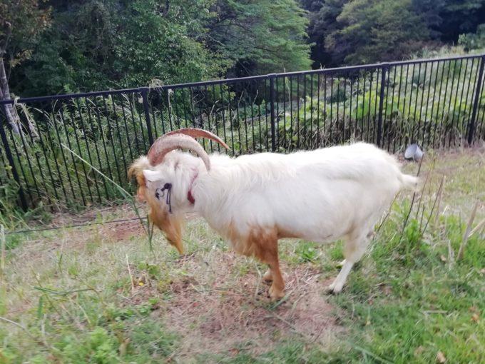 玄海田公園のヤギ
